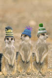 Meerkat Wearing Woolly Hats