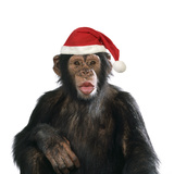 Chimpanzee Showing Lips 'Kissing' Wearing Christmas Hat