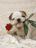 Bulldog Puppy with Rose in Mouth