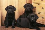 Labrador Retriever Dog Three Black Puppies