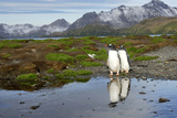 Gentoo Penguins with Mountains in Background