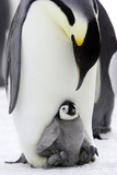 Emperor Penguin  Adult with Young