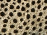 Cheetah  Close-Up of Fur / Coat  Showing Spot Pattern