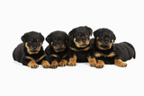 Rottweiler Puppies Laying in a Row