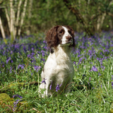 English Springer Spaniel Dog in Bluebells