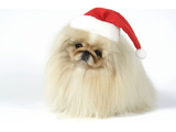Pekingese in Christmas Hat