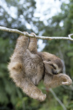 Brown-Throated 3-Toed Sloth