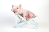Piglet Laying in Deckchair