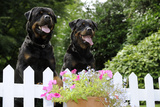 Rottweilers Looking over Fence