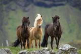 Icelandic Horse Three Standing