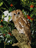 Tawny Owl with Full Moon and Holly