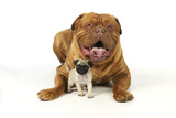 Pug Puppy (5 Wks Old) with Dogue De Bordeaux