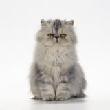 Persian Tortoiseshell Cameo Kitten