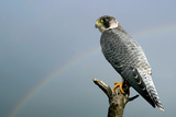 Peregrine Falcon with Rainbow Behind