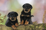 Rottweiler Puppies Looking over Log
