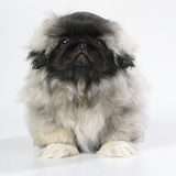 Pekingese  Front-View  Studio Shot
