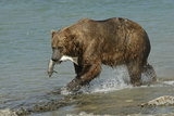 Grizzly Bear Catching Salmon from River