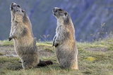 Alpine Marmot Pair on Hind Legs