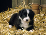 Border Collie Dog Puppy in Straw