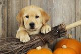 Labrador (8 Week Old Pup) with Broom and Pumpkins