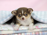 Chihuahua Puppy Lying under a Piece of Cloth