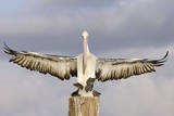Australian Pelican Coming to Alight on a Perch