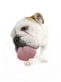 Bulldog Licking the Screen