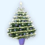 Christmas Tree Nordmannos Fir (Caucasian Fir)