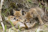 Coyote Young Wild Pups Playing Near their Den