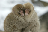 Japanese Macaque Monkey Two Huddled Together