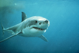 Great White Pointer Shark