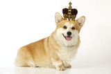 Welsh Corgi Wearing Crown and Pearls