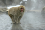 Japanese Macaque Monkey Standing on Rock in Middle
