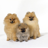Pomeranian  Three Sitting  One Puppy  Studio Shot
