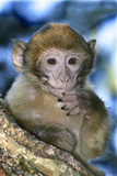 Barbary Macaque  Ape or Rock Ape Young