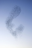 Starlings Shape Shifting Manoeuvres in the Sky