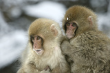 Japanese Macaque Monkey Two Young