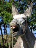 Donkey Braying
