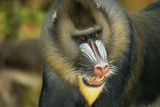 Mandrill Baboon Close-Up of Face