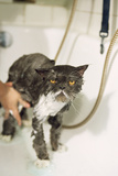 Persian Cat Standing in Bath  Being Washed