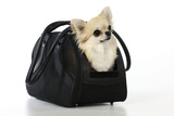 Chihuahua Dog in Carry Bag
