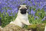 Pug Puppy in Bluebells