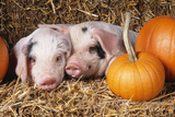 Two Gloucester Old Spot Piglets with Pumpkins