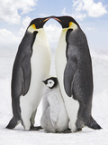 Emperor Penguin  Two Adults with Chick
