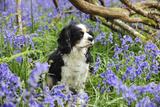 Cavalier King Charles Spaniel Sitting in Bluebells