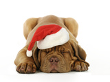 Dogue De Bordeaux Puppy Lying Down Wearing Christmas Hat