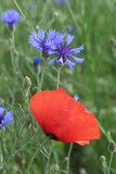 Red Poppy and Cornflowers