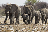African Elephant Family Group on the Move