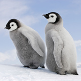 Emperor Penguin  Two Chicks