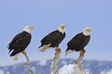 Bald Eagle Three